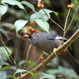 Chestnut-capped Laughingthrush foraging