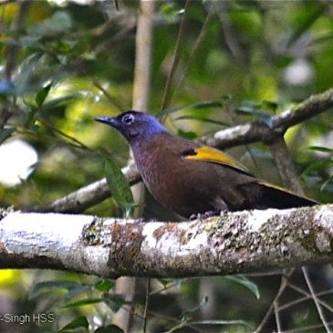 Chestnut-crowned Laughingthrush – calls