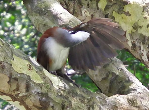 WHITE-CRESTED LAUGHINGTHRUSH – PREENING