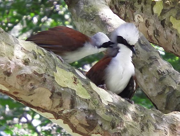 White-crested Laughingthrush (Photo credit: Dr Leong Tzi Ming)