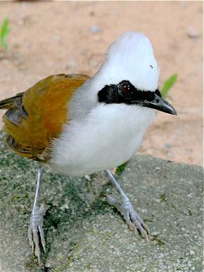 White-crested Laughingthrush Soliciting for Food