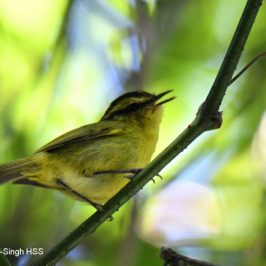 Mountain Leaf-warbler
