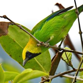 Blue-winged Leafbird feeding on nectar from Malayan Mistletoe flowers