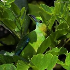 Blue-winged Leafbirds, the dominant species in bird waves