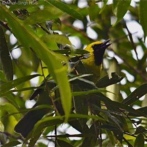 Blue-winged Leafbird  – adult male calls