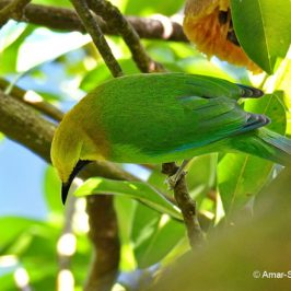 Blue-winged Leafbird – diet/location