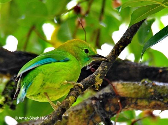 LeafbirdBlWgd-f [AmarSingh]