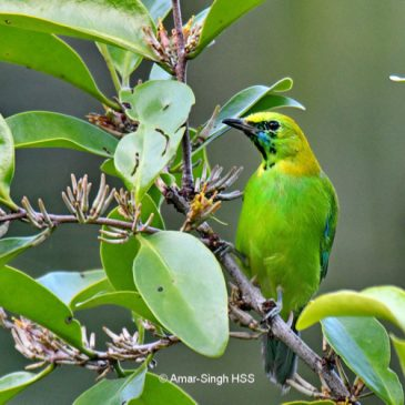 Blue-winged Leafbird – family group and brood size