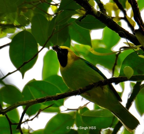 LeafbirdBlWgd-m [AmarSingh]