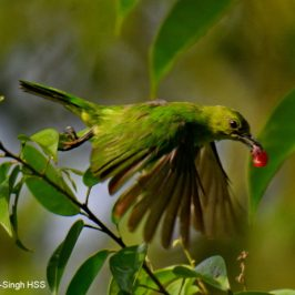 Lesser and Greater Green Leafbirds feeding…