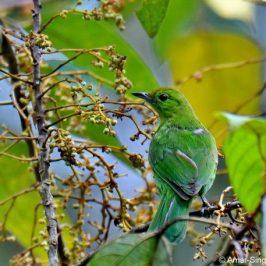 Lesser Green Leafbird – Frugivory