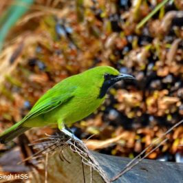 Lesser Green Leafbird feeding on Oil Palm fruits