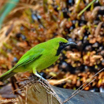 Lesser Green Leafbird feeding on Oil Palm fruits