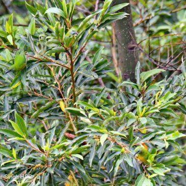 Orange-bellied Leafbird – foraging behaviour