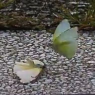 Courtship behaviour of butterflies