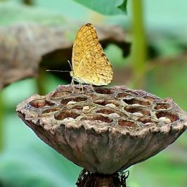 LEOPARD LINGERING ON LOTUS