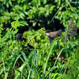 Lesser Coucal attacked by Yellow-vented Bulbul