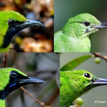 Lesser vs.GreaterGreenLeafbirds