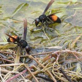 Lesser Banded Hornets having a drink