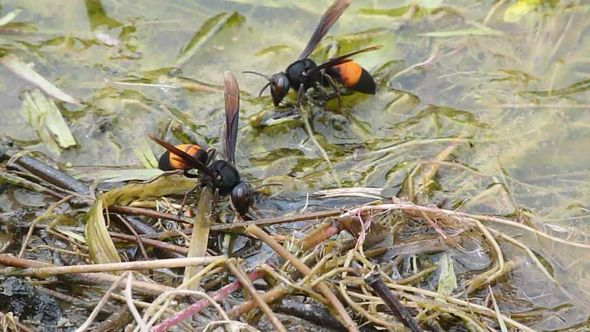 Lesser Banded Hornets having a drink