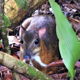 Lesser Mousedeer sighted