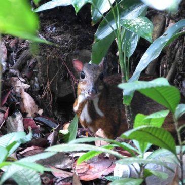 More on Lesser Mousedeer sighting
