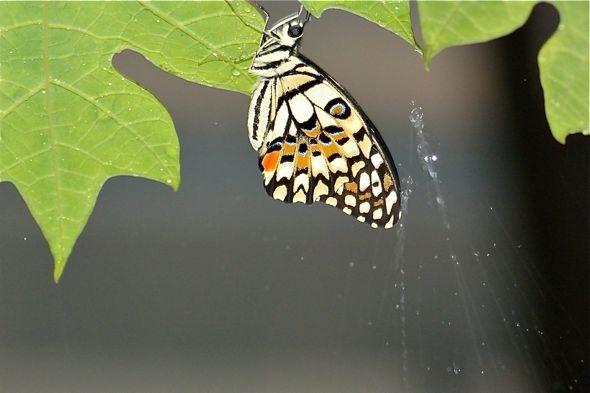 Lime Butterfly avoiding the rain