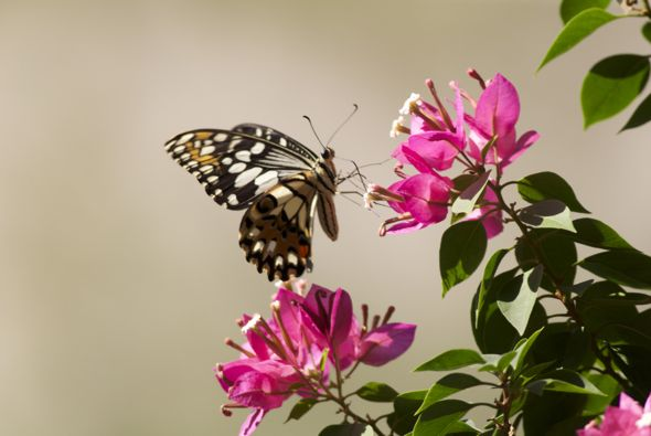 Bougainvillea, food plant for the Lime Butterfly