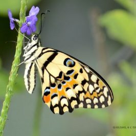 Mating Sequence of the Lime Butterfly