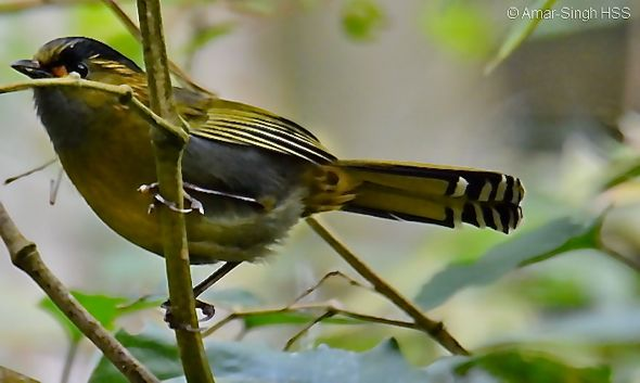 Birding in Taiwan: 5. Steere's Liocichla