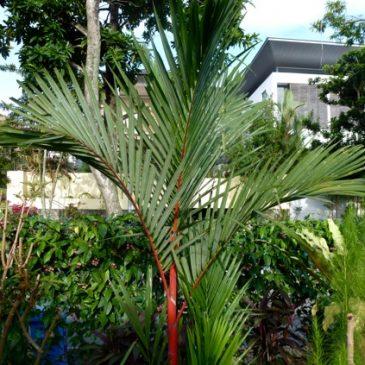 Parasa lepida, the Blue-striped Nettle Grub 1: Caterpillar