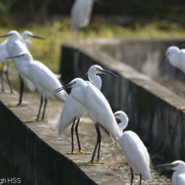 Little Egret – breeding plumage transformation