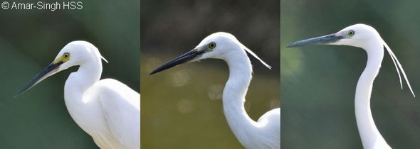 Little Egret – breeding plumage transformation