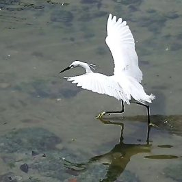 LITTLE EGRET FISHING TACTICS