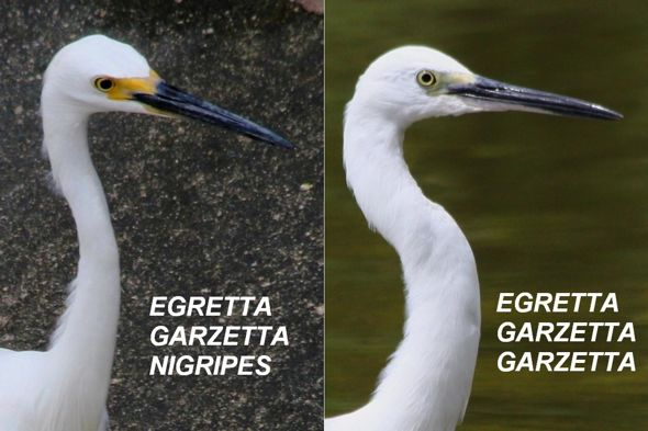 Little Egrets' Territorial Dispute
