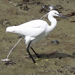 LITTLE EGRET DEFAECATION VIDEOS