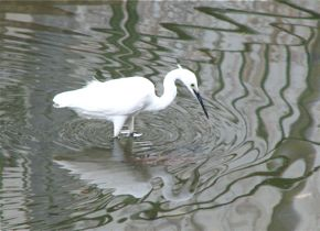 Little Egret: Foot tapping