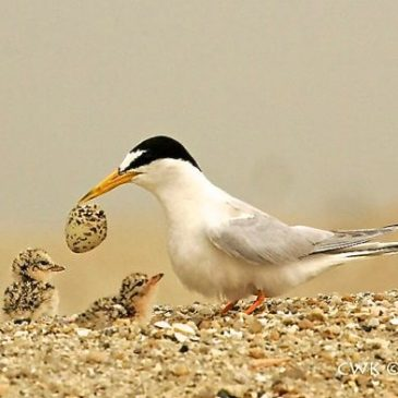 Challenges for photographers stalking Little Terns