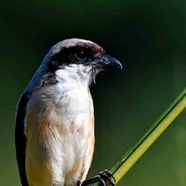 Long-tailed Shrike – Raptor wannabe