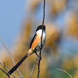 Long-tailed Shrike – calls