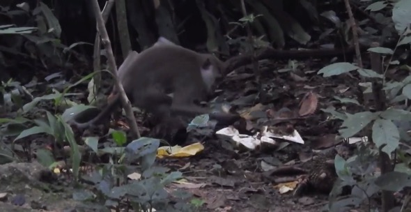 Long-tailed Macaque feasting on a durian