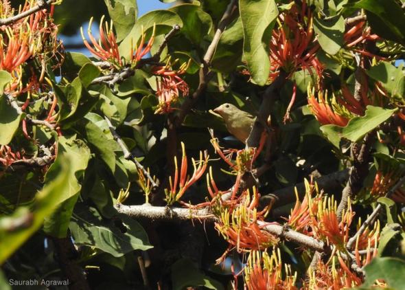 Pale-billed Flowerpecker among Loranthus. flowers (Photo credit: Saurabh Agrawal)