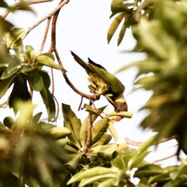 More birds visiting Golden Penda tree…