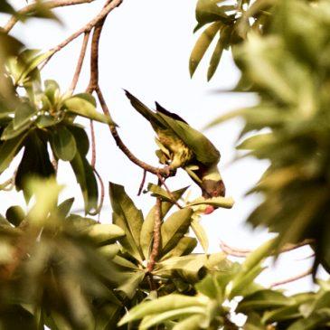 More birds visiting Golden Penda tree…