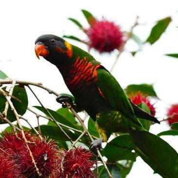 Birds eating the fruits of Nephelium lappaceum
