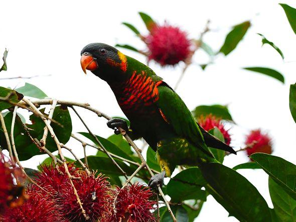 Birds eating the fruits of <em>Nephelium lappaceum</em>
