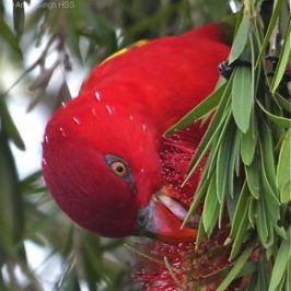 Chattering Lory sighted in Malaysia