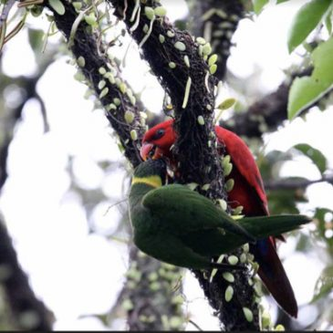 Red Lory and Coconut Lorikeet – courtship behaviour