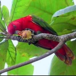 Chattering Lory eating <em>Terminalia catappa</em> fruit