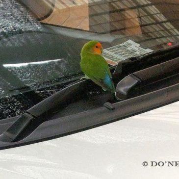 © Rare Visitation by Avian Escapee – Peach-Faced Lovebird